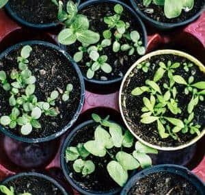 Small greens in pots.